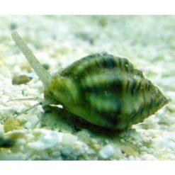 large_145_invert_-_reef_snail.jpg