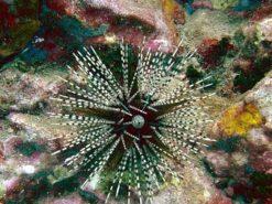 banded-sea-urchin-echinothrix-calamaris