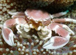 anemone-clown_1301160955-neopetrolisthes-maculatus