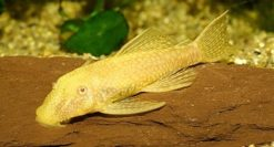 ancistrus-sp.-gold-001