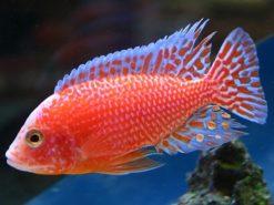 Aulonocara-sp.-firefish