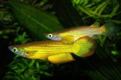 Aplocheilus-lineatus-1