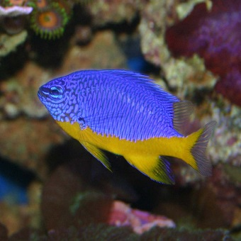 DAMSELS/CHROMIS