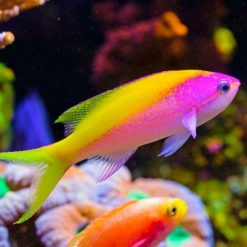 ANTHIAS/CARDINALFISH
