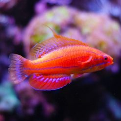 WRASSES/DARTFISHIES